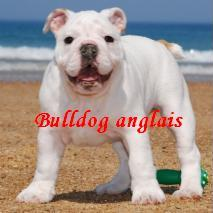 bulldog anglais - metakisbulls I am